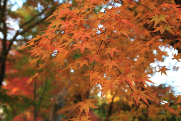 京都観光北野天満宮紅葉015.jpg