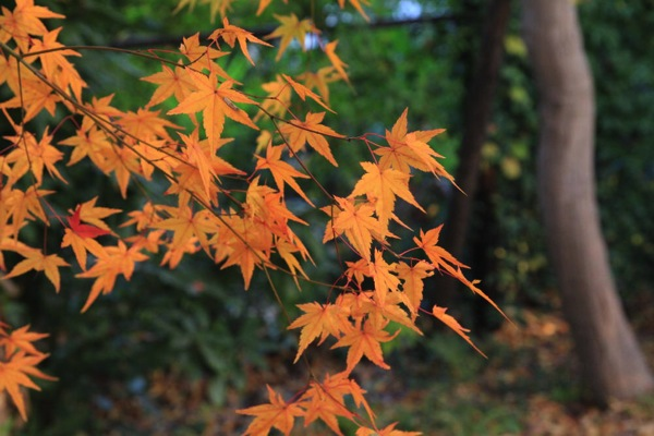 京都観光北野天満宮紅葉012.jpg