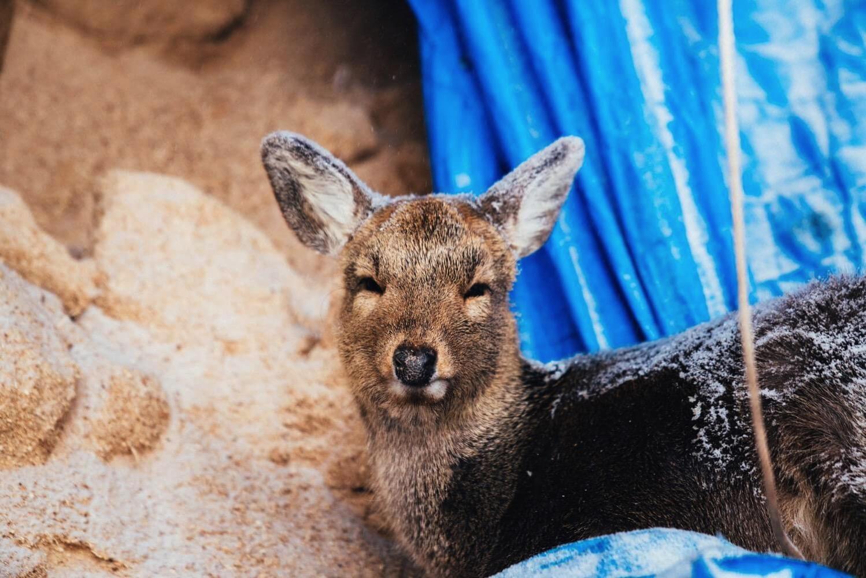 下川町の鹿